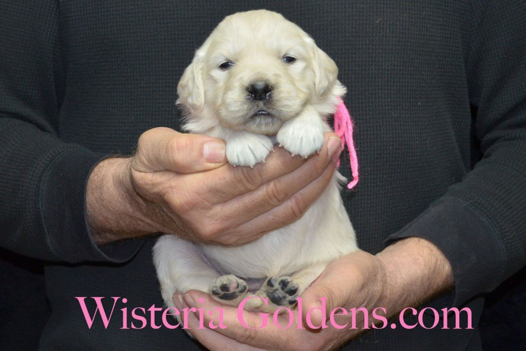 Pink Girl - 3.6 lbs Aria litter 3 wks pictures english cream golden retriever puppies for sale wisteria ranch