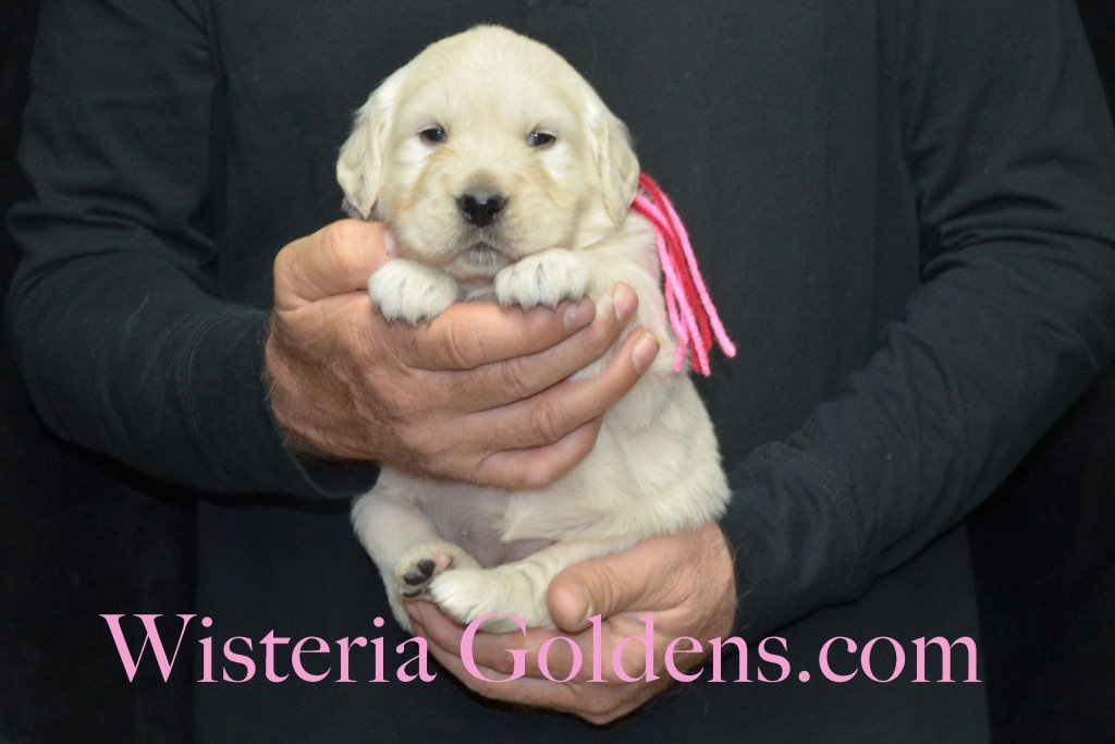Aria Litter 4 weeks pictures Pink Girl - 5.4 lbs Aria/Thor Litter Born 10-24-2015 See wisteriagoldens.com home page or Available Puppies page for most recent published availability updates.