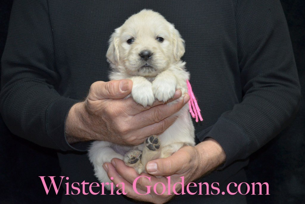 Pink Girl - 4.2 lbs Aria Litter 4 weeks pictures English Cream Golden Retriever Puppies For Sale at Wisteria Goldens Ranch. Aria Litter. Aria and Ego litter Born January 25 2015. http://wisteriagoldens.com/available-puppies/english-cream-golden-retriever-puppies-for-sale-aria-litter/ #englishcreamgoldenretrieverpuppies #puppiesforsale