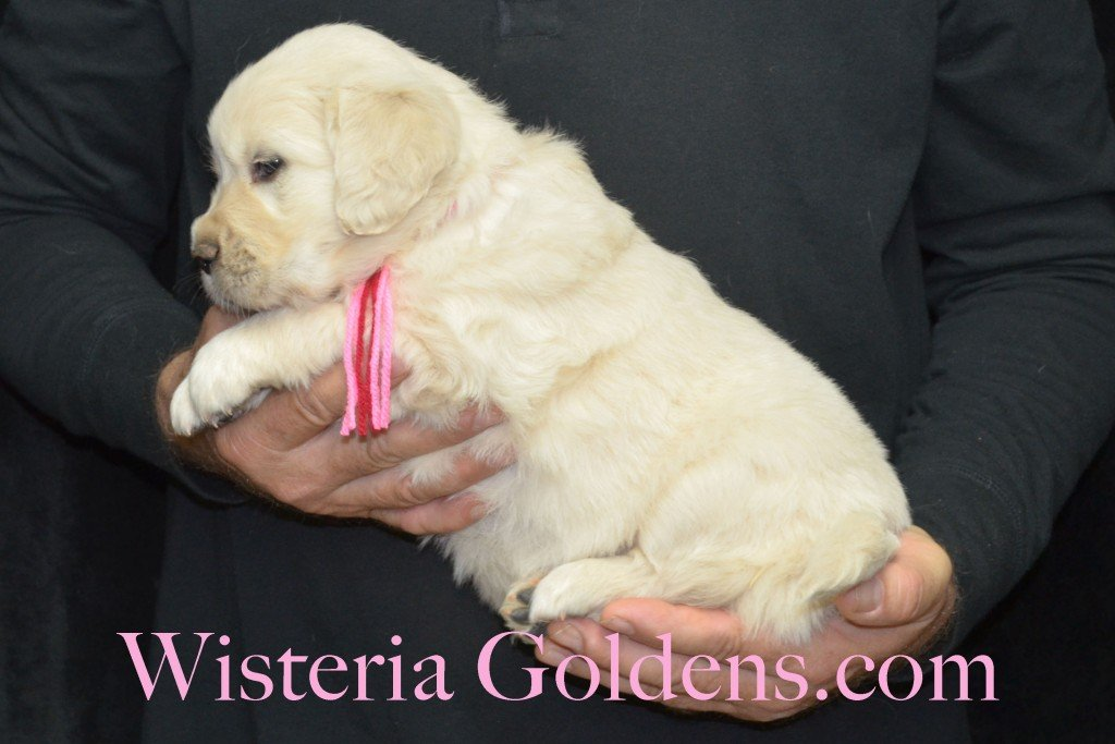 Aria Litter 5 Weeks Pink Girl - 7.2 lbs Wisteria Goldens focuses on raising quality and healthy English Golden Retrievers.