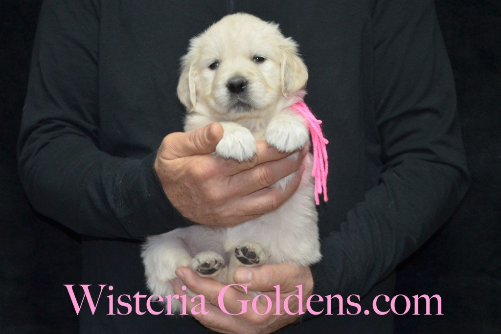 Pink Girl - 6.0 lbs 5 weeks pictures Aria and Ego Litter Born 01/25/2015 4 girls and 4 boys.  English Cream golden Retriever puppies for sale