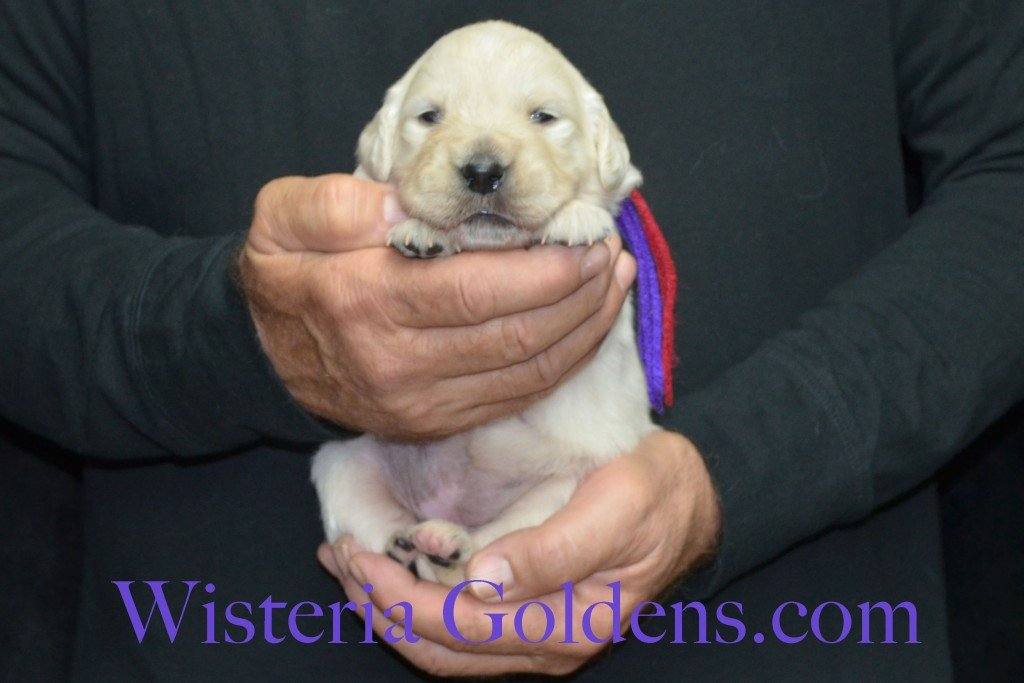 Aria Litter Purple Girl 3.4 lbs. Aria-Thor Litter born 10-24-2015 English Cream Golden Retriever Puppies for sale WisteriaGoldens.com