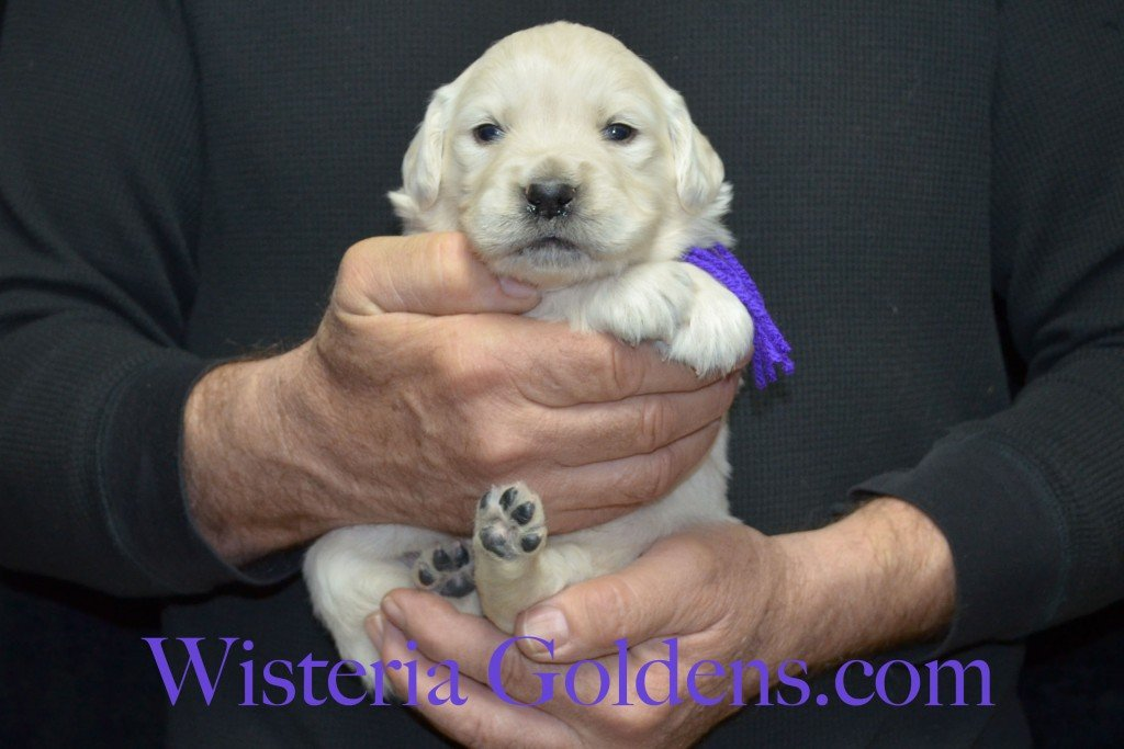 Purple Girl - 4.0 lbs Aria litter 3 wks pictures english cream golden retriever puppies for sale wisteria ranch