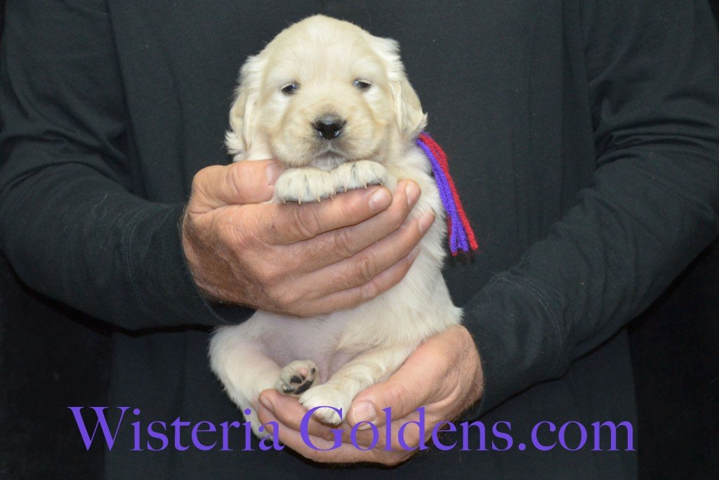 Aria Litter 4 weeks pictures Purple Girl - 5.0 lbs Aria/Thor Litter Born 10-24-2015 See wisteriagoldens.com home page or Available Puppies page for most recent published availability updates.