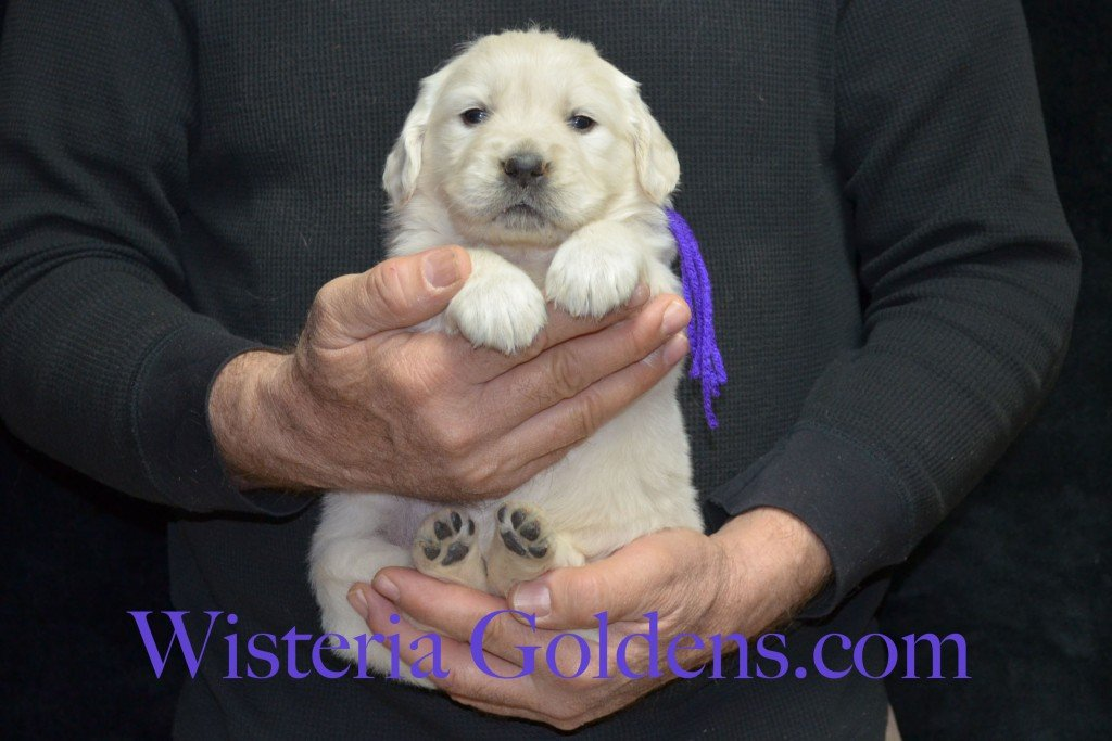 Purple Girl - 4.8 lbs Aria Litter 4 weeks pictures English Cream Golden Retriever Puppies For Sale at Wisteria Goldens Ranch. Aria Litter. Aria and Ego litter Born January 25 2015. http://wisteriagoldens.com/available-puppies/english-cream-golden-retriever-puppies-for-sale-aria-litter/ #englishcreamgoldenretrieverpuppies #puppiesforsale