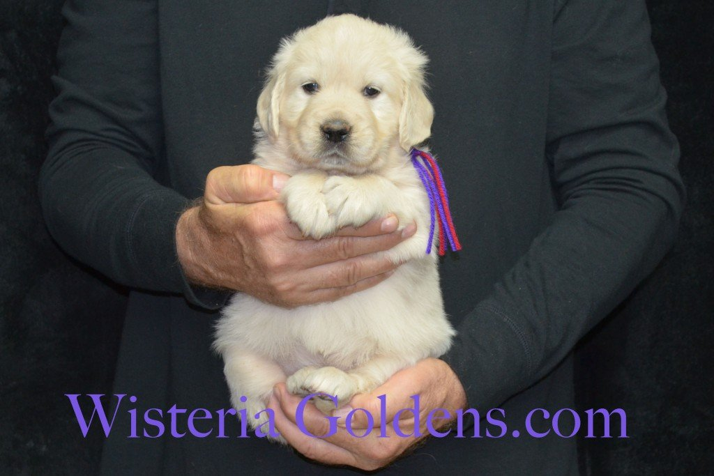 Aria Litter 5 Weeks Purple Girl - 6.8 lbs Wisteria Goldens focuses on raising quality and healthy English Golden Retrievers.