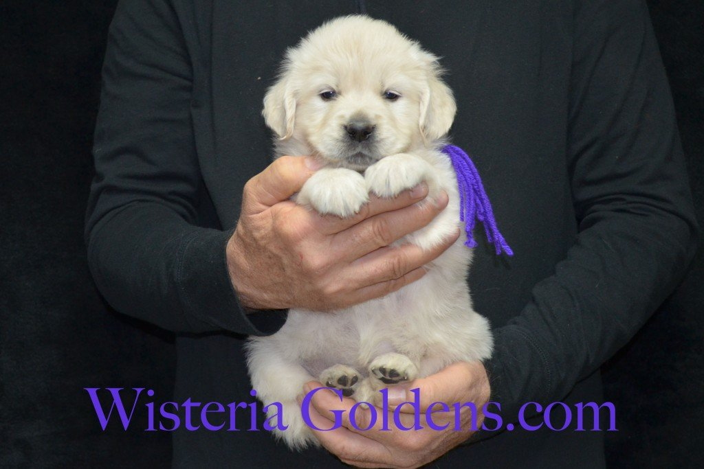Purple Girl - 6.6 lbs 5 weeks pictures Aria and Ego Litter Born 01/25/2015 4 girls and 4 boys.  English Cream golden Retriever puppies for sale