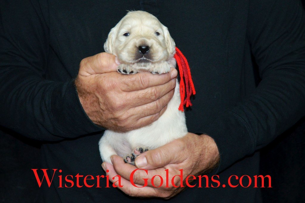 Aria Litter Red Boy 3.8 lbs. Aria-Thor Litter born 10-24-2015 English Cream Golden Retriever Puppies for sale WisteriaGoldens.com