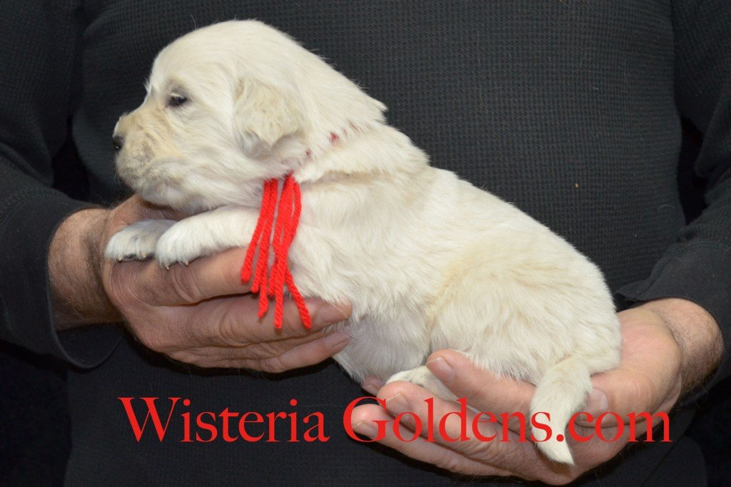 Red Boy - 3.2 lbs Aria litter 3 wks pictures english cream golden retriever puppies for sale wisteria ranch