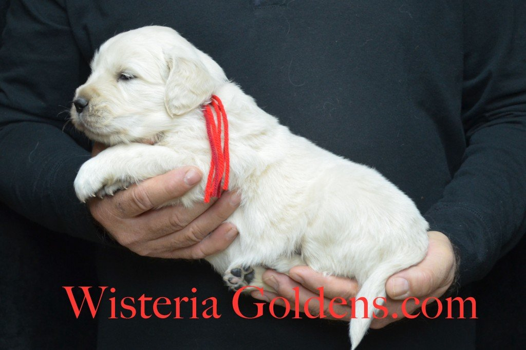 Aria Litter 4 weeks pictures Red Boy - 5.0 lbs Aria/Thor Litter Born 10-24-2015 See wisteriagoldens.com home page or Available Puppies page for most recent published availability updates.