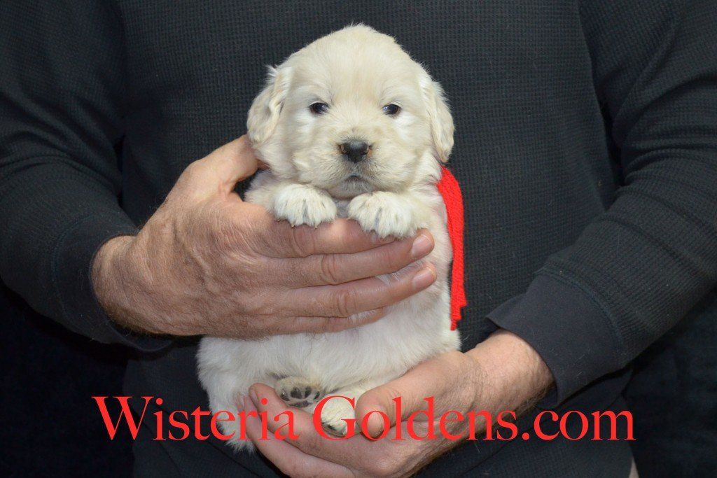 Red Boy - 4.2 lbs Aria Litter 4 weeks pictures English Cream Golden Retriever Puppies For Sale at Wisteria Goldens Ranch. Aria Litter. Aria and Ego litter Born January 25 2015. http://wisteriagoldens.com/available-puppies/english-cream-golden-retriever-puppies-for-sale-aria-litter/ #englishcreamgoldenretrieverpuppies #puppiesforsale