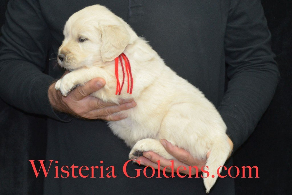 Aria Litter 5 Weeks Red Boy - 6.8 lbs Wisteria Goldens focuses on raising quality and healthy English Golden Retrievers.