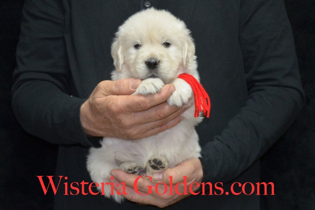 Red Boy - 5.8 lbs 5 weeks pictures Aria and Ego Litter Born 01/25/2015 4 girls and 4 boys.  English Cream golden Retriever puppies for sale