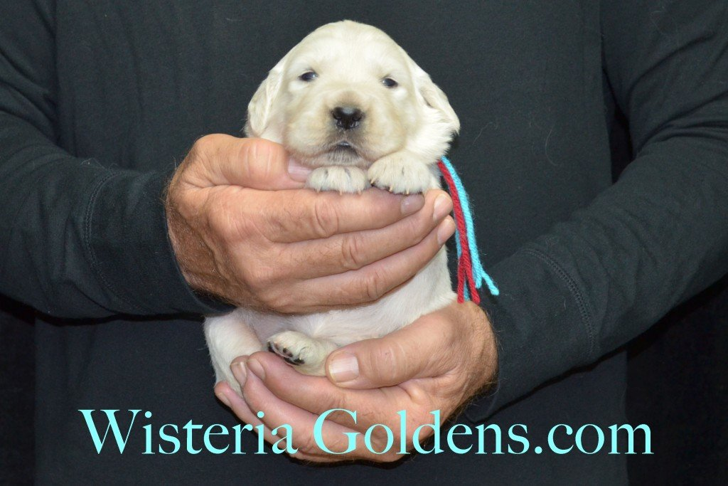 Aria Litter Teal Girl 4.2 lbs. Aria-Thor Litter born 10-24-2015 English Cream Golden Retriever Puppies for sale WisteriaGoldens.com