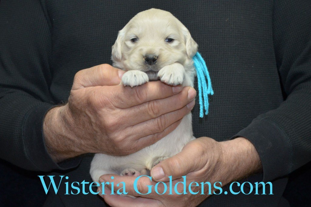 Teal Girl - 3.2 lbs Aria litter 3 wks pictures english cream golden retriever puppies for sale wisteria ranch