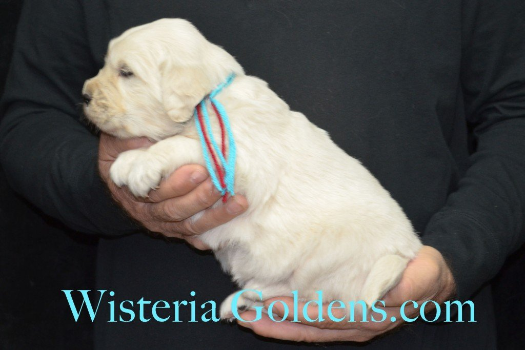 Aria Litter 4 weeks pictures Teal Girl - 5.6 lbs Aria/Thor Litter Born 10-24-2015 See wisteriagoldens.com home page or Available Puppies page for most recent published availability updates.