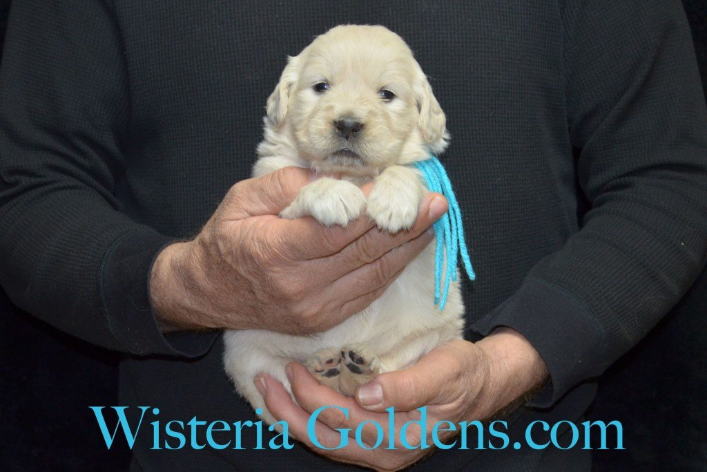 Teal Girl - 4.0 lbs Aria Litter 4 weeks pictures English Cream Golden Retriever Puppies For Sale at Wisteria Goldens Ranch. Aria Litter. Aria and Ego litter Born January 25 2015. http://wisteriagoldens.com/available-puppies/english-cream-golden-retriever-puppies-for-sale-aria-litter/ #englishcreamgoldenretrieverpuppies #puppiesforsale