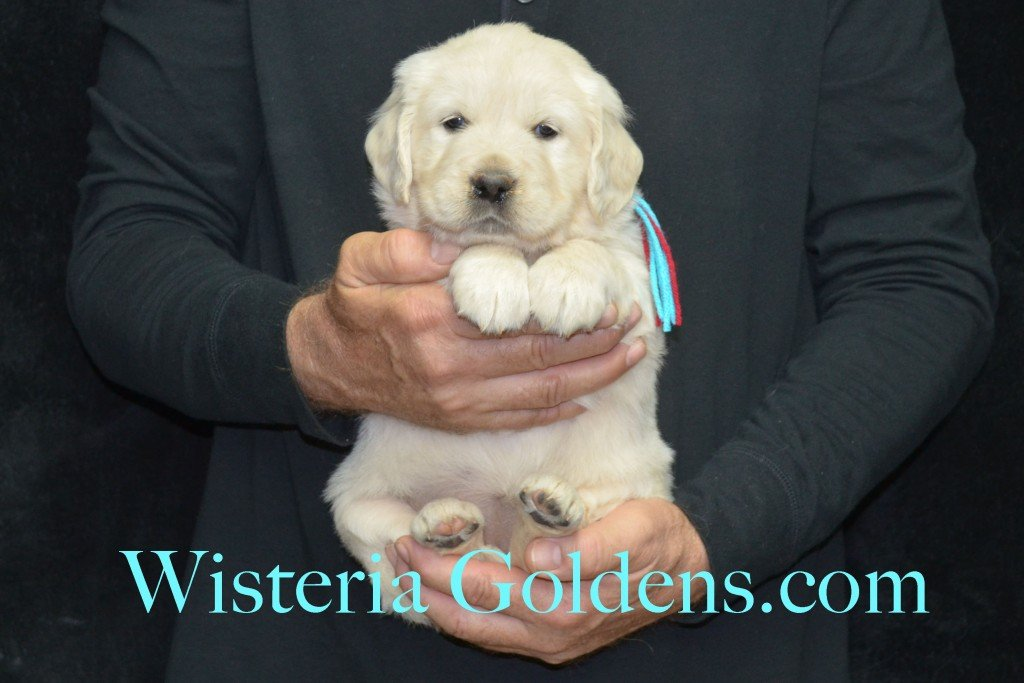 Aria Litter 5 Weeks Teal Girl - 7.6 lbs Wisteria Goldens focuses on raising quality and healthy English Golden Retrievers.