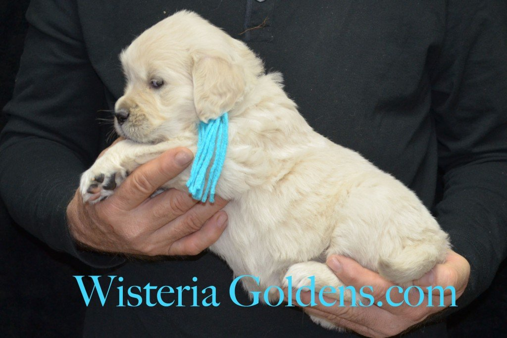 Teal Girl - 6.0 lbs 5 weeks pictures Aria and Ego Litter Born 01/25/2015 4 girls and 4 boys.  English Cream golden Retriever puppies for sale