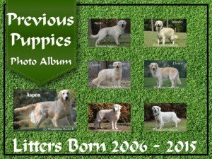 Previous Puppies photo album English Cream Golden Retriever Puppies born 2006-2015