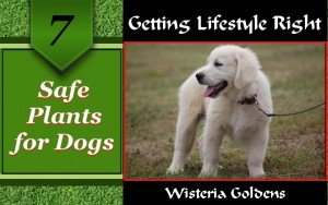 Safe Plants for Dogs Getting Lifestyle Right Series Wisteria Goldens Episode 7