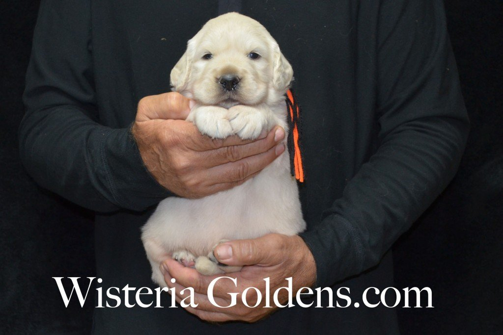 Black Boy - 6.2 lbs Harmony and Thor Litter born 6-13-2015 English Cream Golden Retriever puppies for sale.