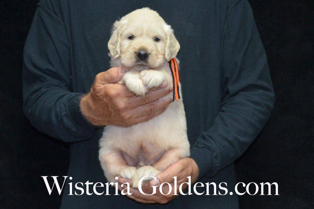 Black Boy - 7.2 lbs Harmony and Thor litter 4 weeks pictures born 6-13-2015 English Cream Golden Retriever puppies for sale