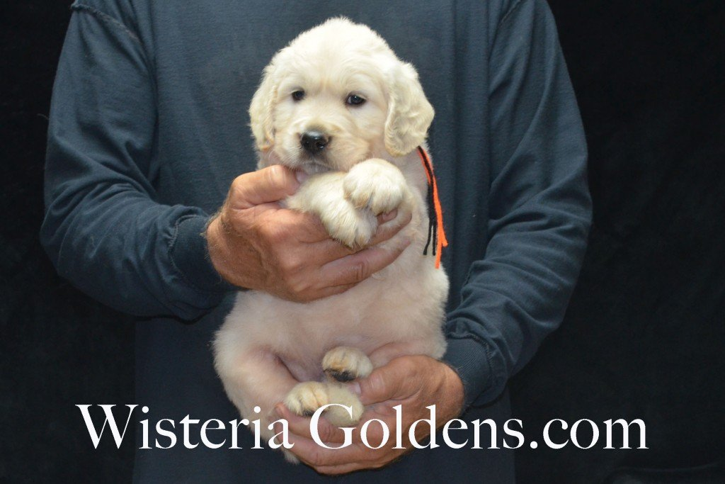 Black Boy - 8.0 lbs Harmony and Thor litter born 6-13-2015 English Cream Golden Retriever puppies for sale