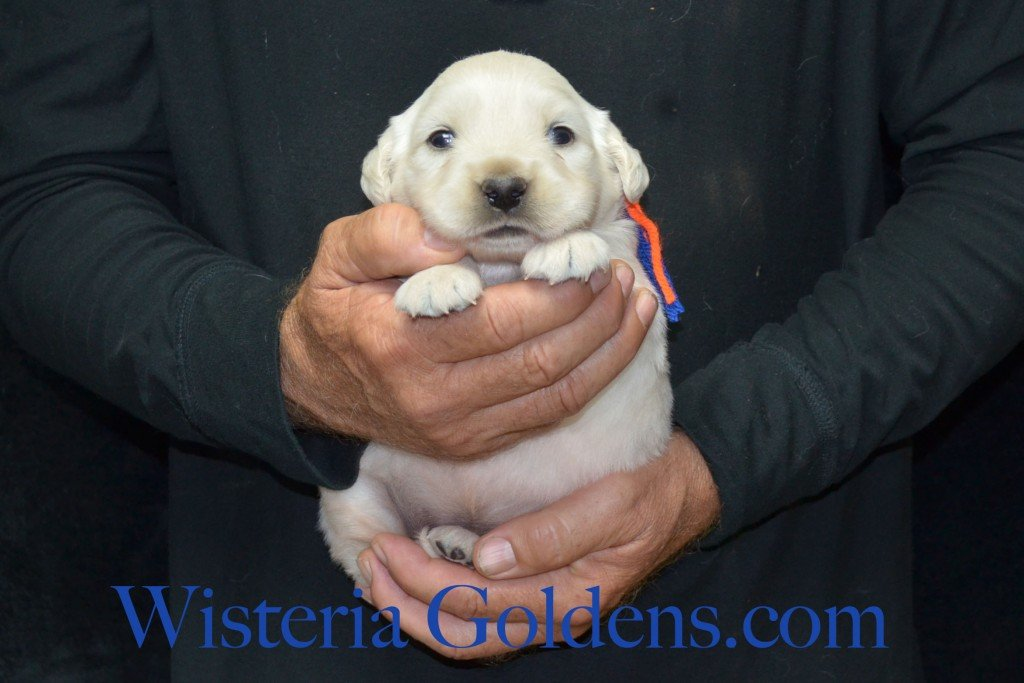Blue Boy - 3.2 lbs Harmony and Thor Litter born 6-13-2015 English Cream Golden Retriever puppies for sale.