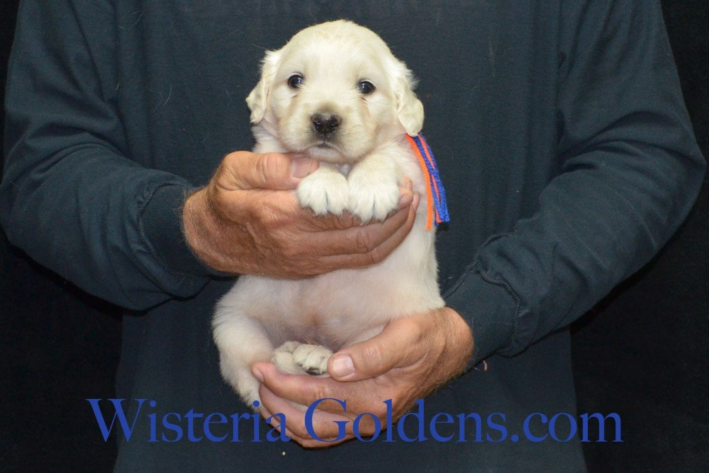 Blue Boy - 4.2. lbs Harmony and Thor litter 4 weeks pictures born 6-13-2015 English Cream Golden Retriever puppies for sale