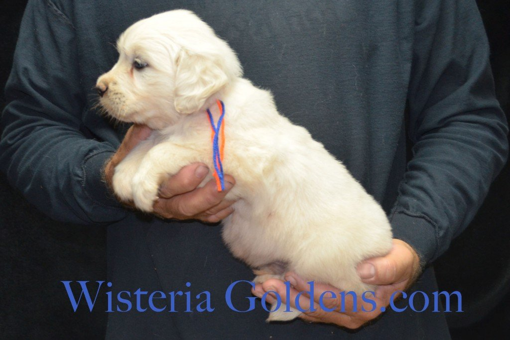 Blue Boy - 5.0 lbs Harmony and Thor litter born 6-13-2015 English Cream Golden Retriever puppies for sale