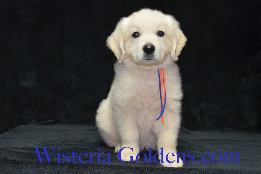 Harmony's Blue Boy - Toby Harmony Thor litter born 6-13-2015 English Cream Golden Retriever puppy for sale