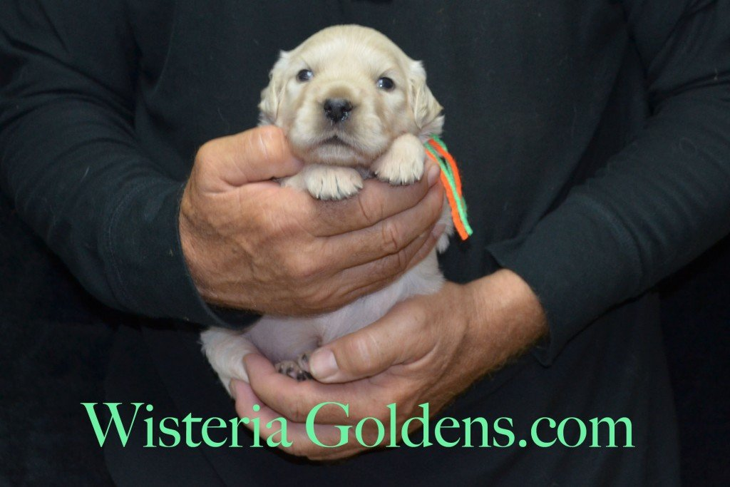 Lime Girl - 3.2 lbs 3 weeks pictures. Harmony and Thor Litter born 6-13-2015 English Cream Golden Retriever puppies for sale.