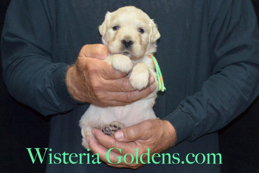 Lime Girl - 4.4 lbs Harmony and Thor litter 4 weeks pictures born 6-13-2015 English Cream Golden Retriever puppies for sale