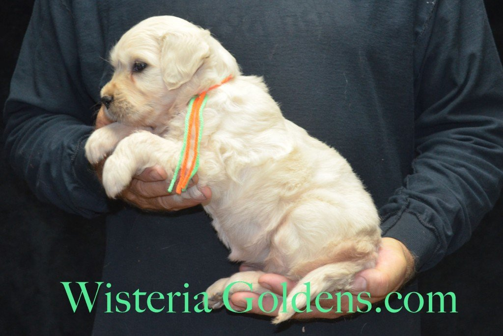 Lime Girl - 5.0 lbs Harmony and Thor litter born 6-13-2015 English Cream Golden Retriever puppies for sale