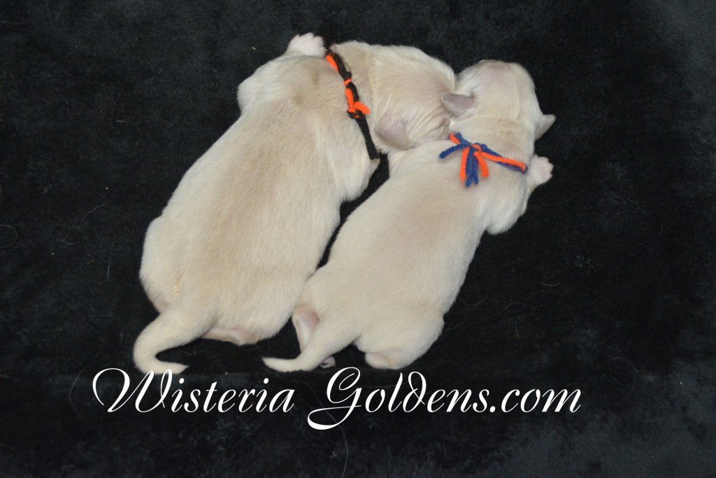 Harmony Thor males born 6-13-2015 English Cream Golden Retriever puppy newborn pictures