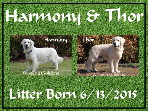Harmony & Thor -- Born 6/12/2015. 1 girl and 2 boys.English Cream Golden Retriever Puppies For Sale