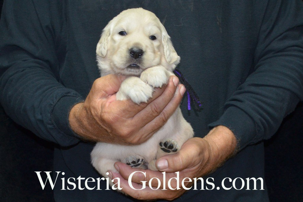 Black Boy - 5.0 lbs Holly Litter born 6-12-2015 English Cream Golden Retriever puppies for sale. 3 weeks pictures.