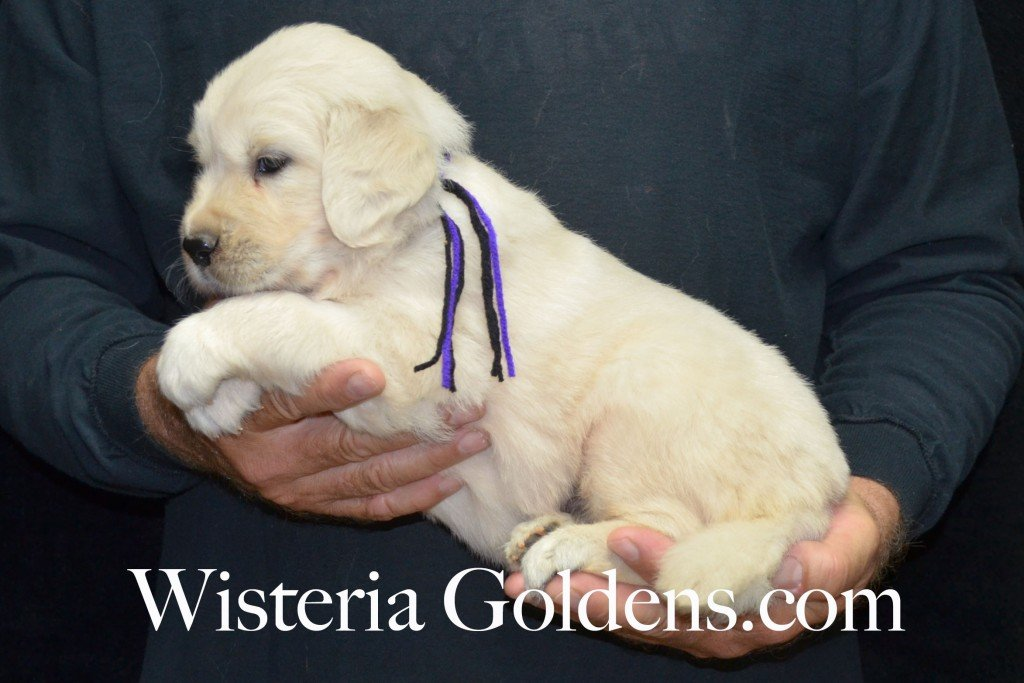 Black Boy - 6.0 lbs Holly and Thor litter born 6-12-2015 English Cream Golden Retriever puppies for sale