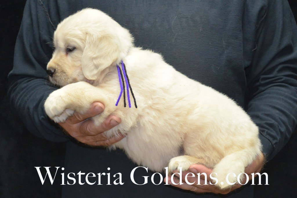 Black Boy - 8.0 lbs Holly and Thor litter born 6-12-2015 English Cream Golden Retriever puppies for sale