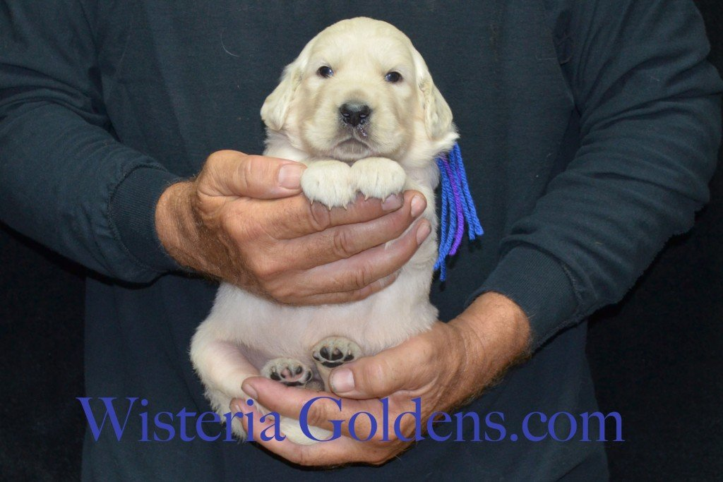 Blue Boy - 5.2 lbs Holly Litter born 6-12-2015 English Cream Golden Retriever puppies for sale. 3 weeks pictures.