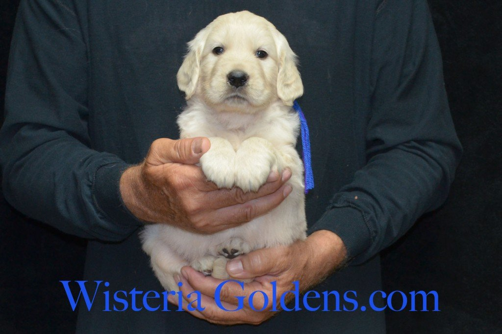 Blue Boy - 6.2 lbs Holly and Thor litter born 6-12-2015 English Cream Golden Retriever puppies for sale