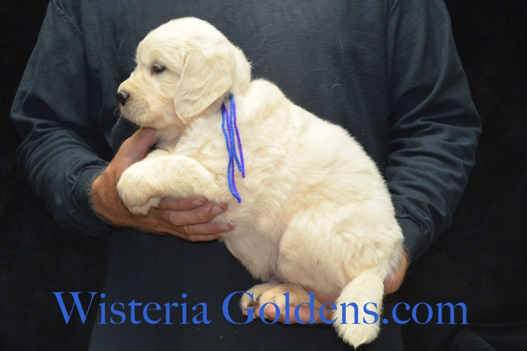 Red Boy - 7.6 lbs Holly and Thor litter born 6-12-2015 English Cream Golden Retriever puppies for sale