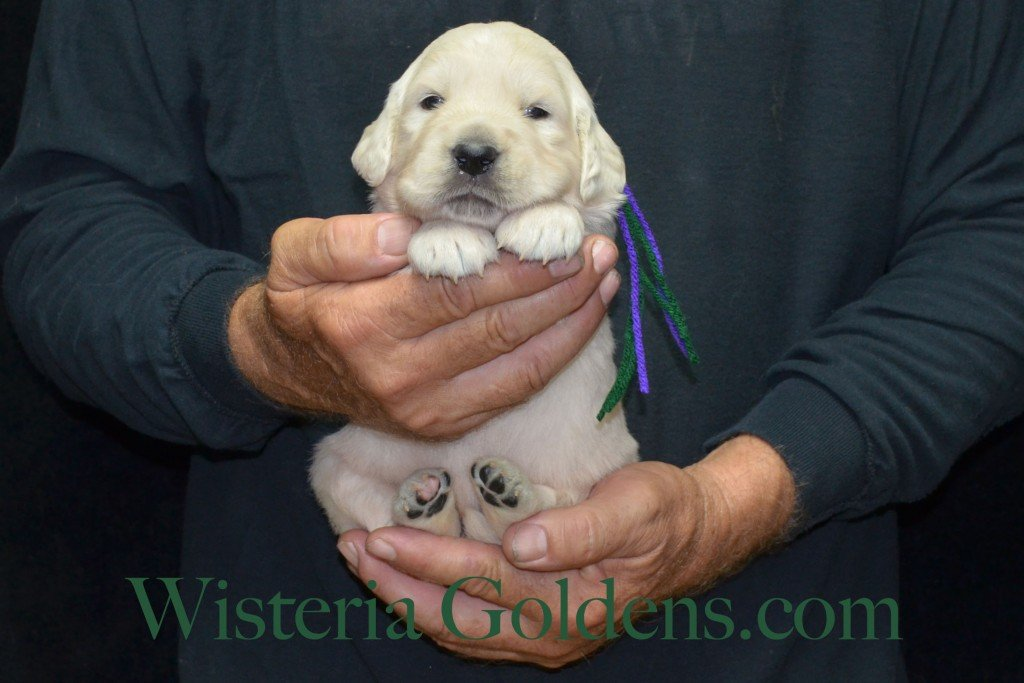 Green Boy - 4.2 lbs Holly Litter born 6-12-2015 English Cream Golden Retriever puppies for sale. 3 weeks pictures.