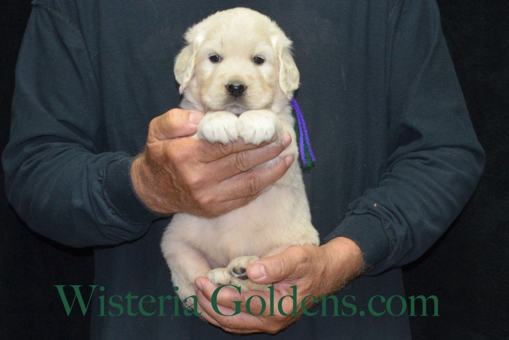 Green Boy - 5.4 lbs Holly and Thor litter born 6-12-2015 English Cream Golden Retriever puppies for sale