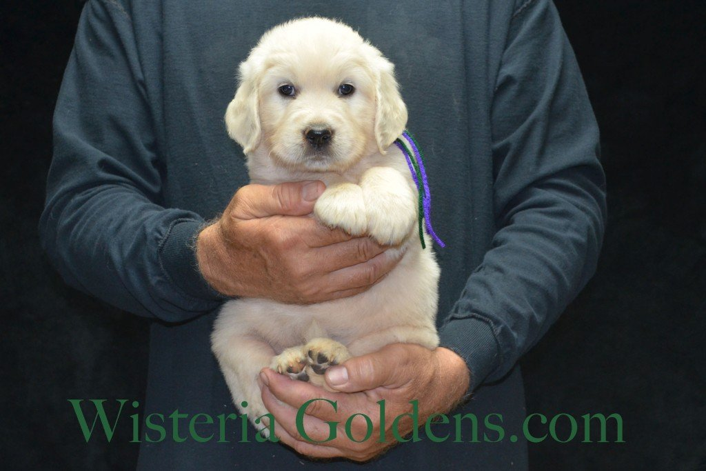 Green Boy - 7.2 lbs Holly and Thor litter born 6-12-2015 English Cream Golden Retriever puppies for sale