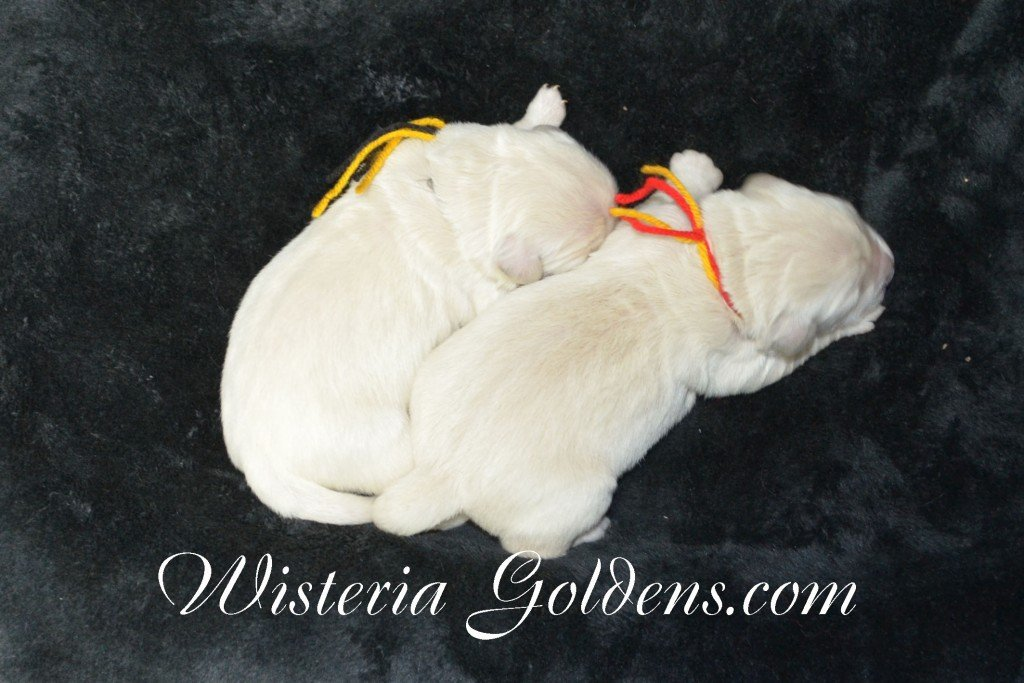 Holly Litter The Boys Holly and Thor Litter born 01-25-2016 English Cream Golden Retriever puppies for sale