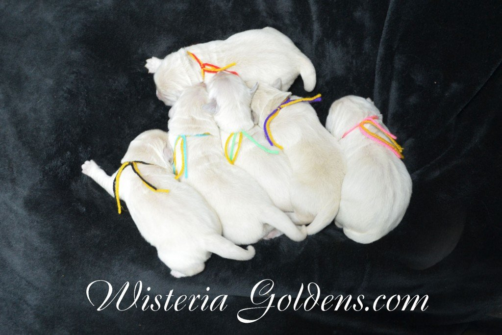Holly Litter The Group Holly and Thor Litter born 01-25-2016 English Cream Golden Retriever puppies for sale