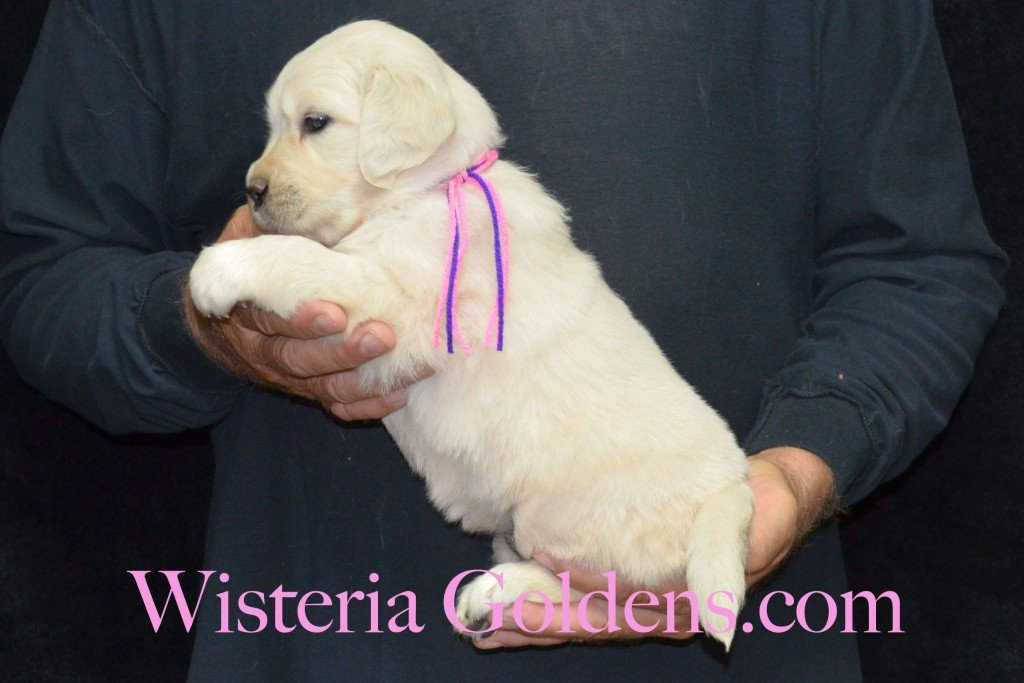 Pink Girl - 5.2 lbs Holly and Thor litter born 6-12-2015 English Cream Golden Retriever puppies for sale