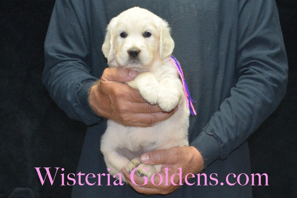 Pink Girl - 7.0 lbs Holly and Thor litter born 6-12-2015 English Cream Golden Retriever puppies for sale